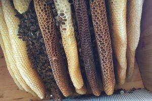 Bienenwaben im Bienenstock von Pro-Liberis